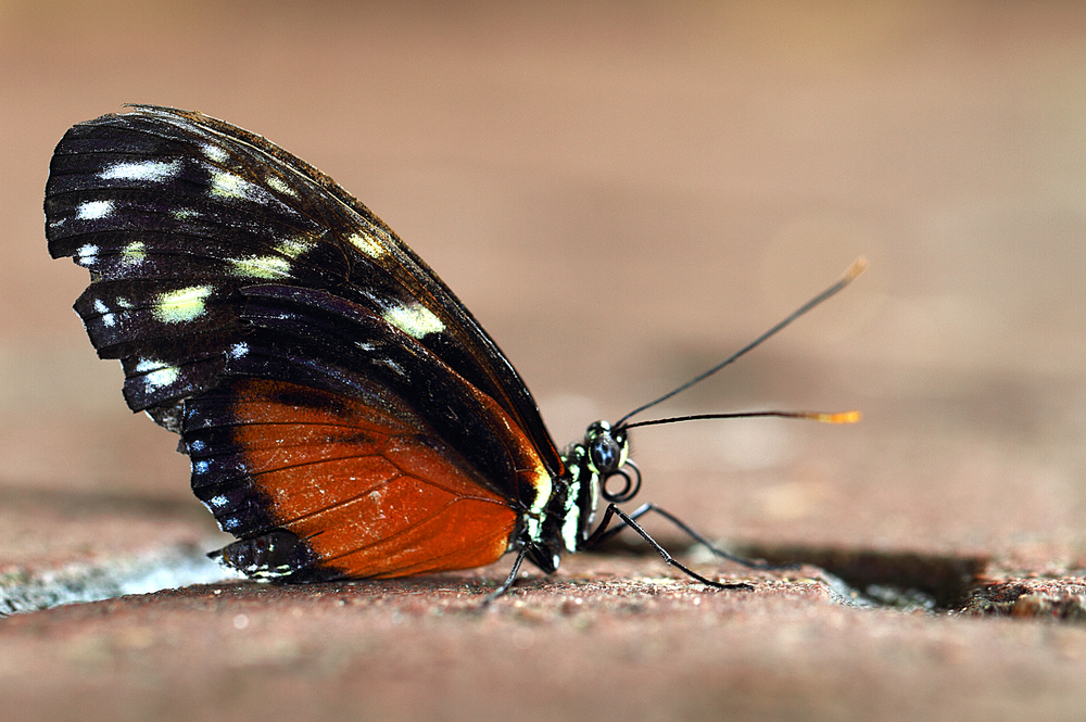 Landed Read about The Heliconius hecale Comments