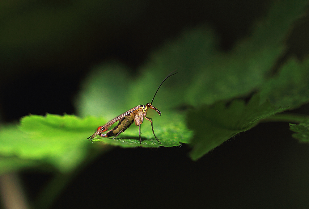 Scorpion Fly Read about The Mecoptera Comments