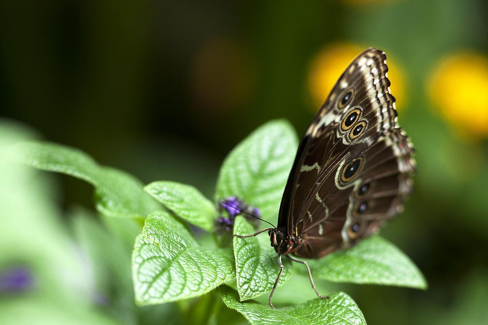 Blue morpho butterfly (Morpho peleides Morpho achilles) Read about The Blue morpho butterfly (Morpho peleides Morpho achilles) Comments