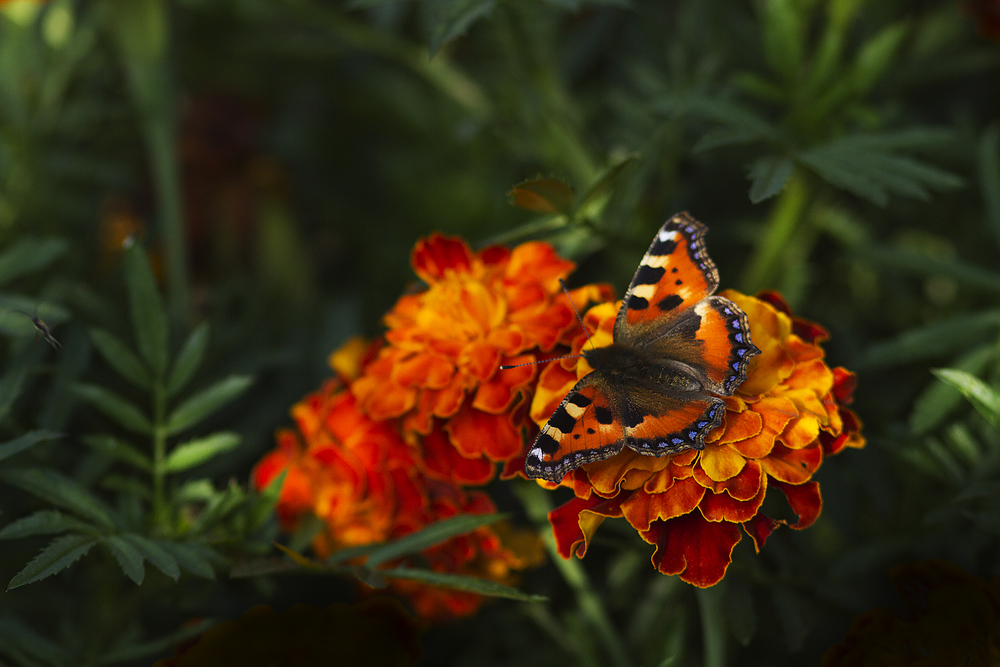 Garden life Read about The Small tortoiseshell Comments