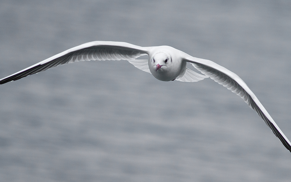 One second to impact Read about The Black-headed gull Comments
