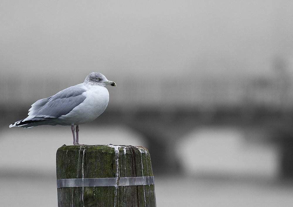 A gray morning Read about European herring gull Comments