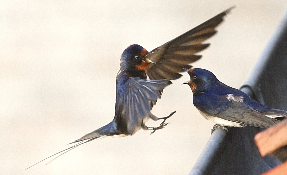 Come on ...soon we have kids to feed Read about The barn swallow Comments
