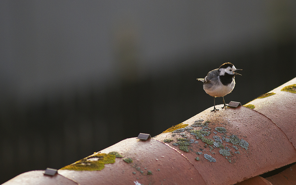 A tiny good morning from the rooftop Read about White wagtail Comments