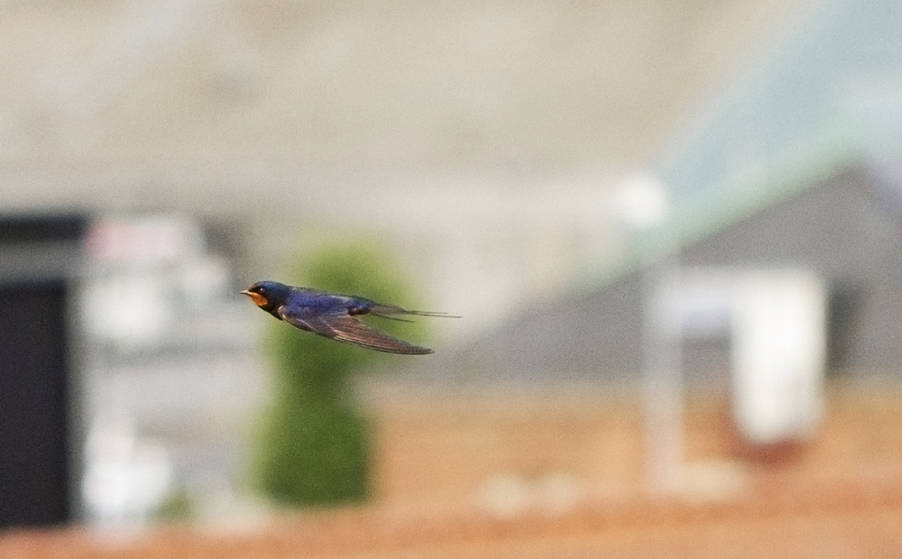 Catch me if you can Read about The barn swallow Comments