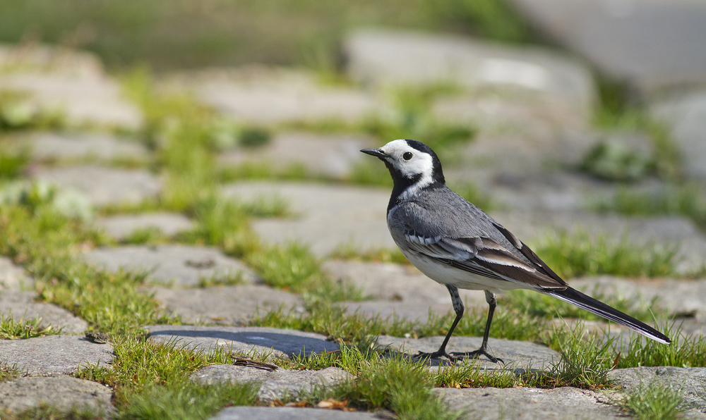 Urban environments can also be green Read about White wagtail Comments