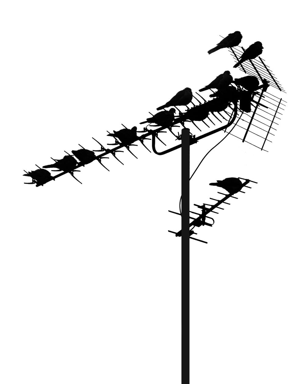 Signal Amplification Read about The common starling Comments