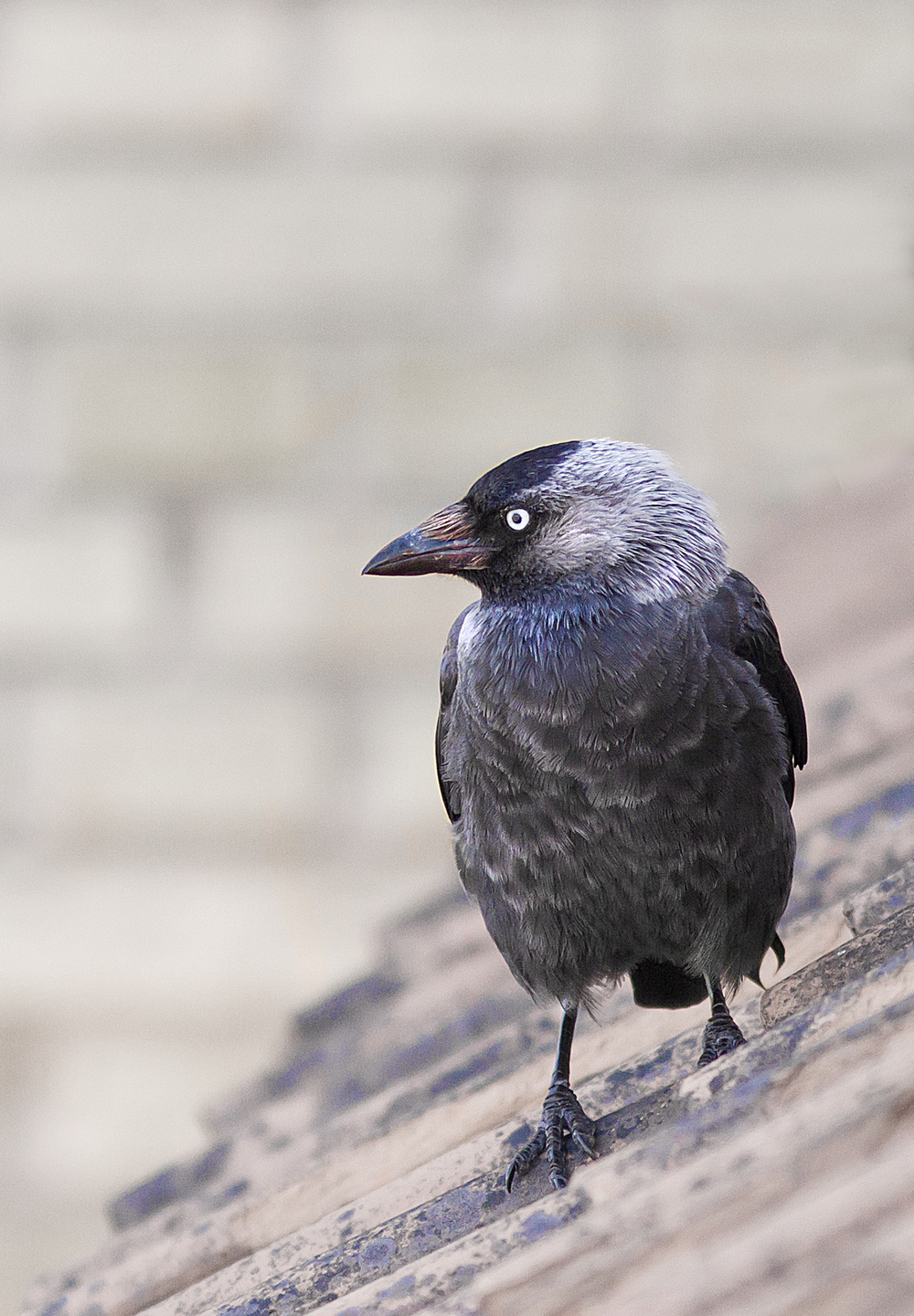 A bird on a roof Read about The Western jackdaw Comments