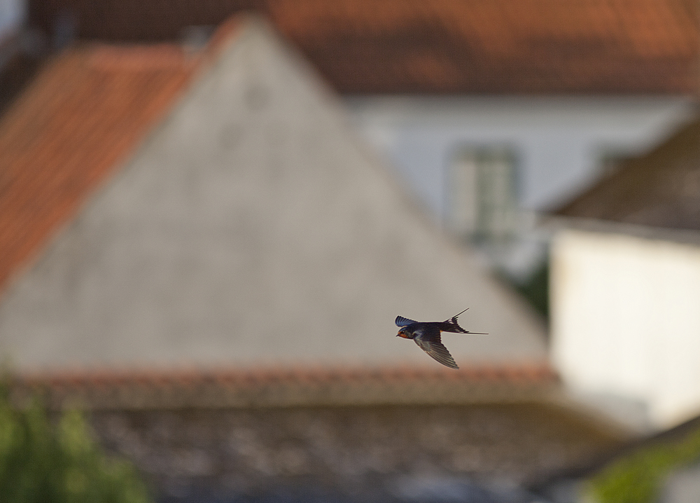 110 km/h ... click Read about The barn swallow Comments