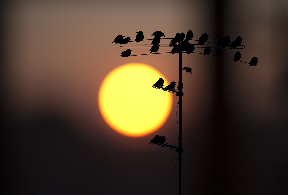 Birds at sunrise Read about The common starling Comments