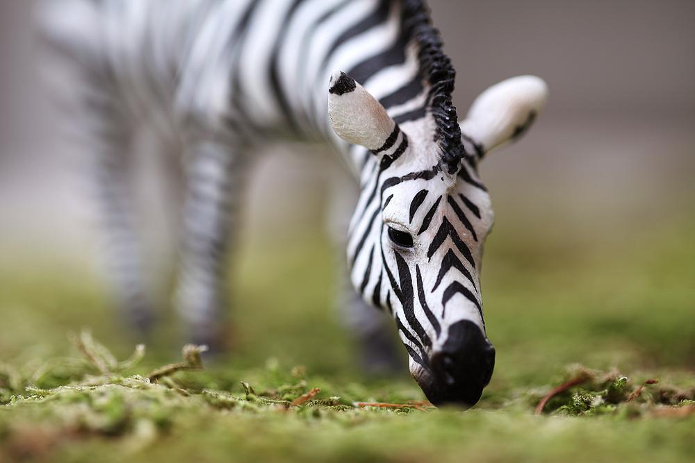 Zebra grazing Comments