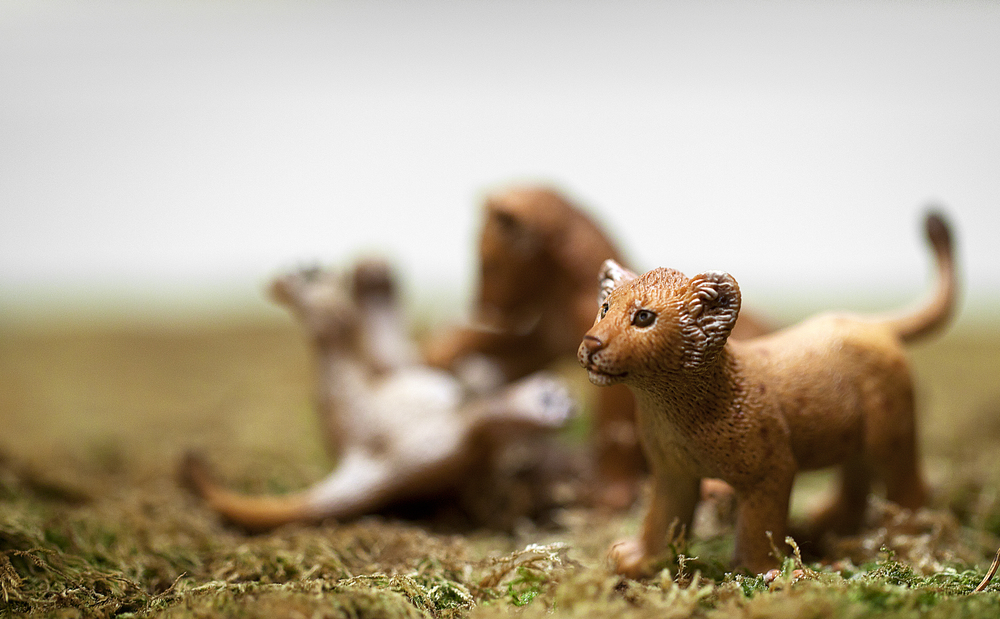 Lion cubs playing Comments