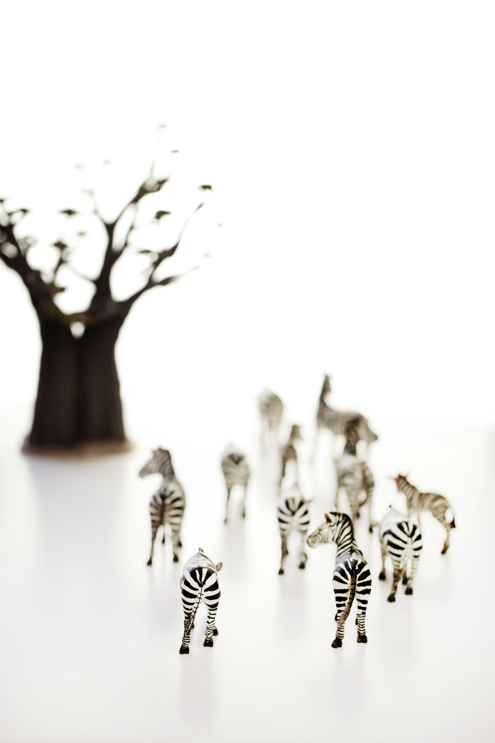 Zebras in white Comments