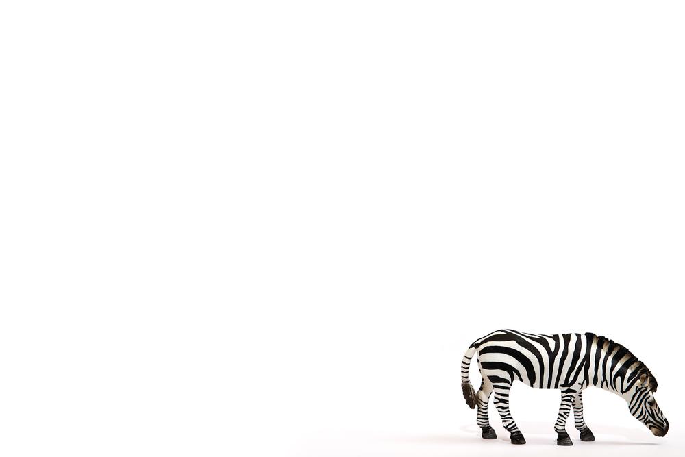 Zebra on white Comments