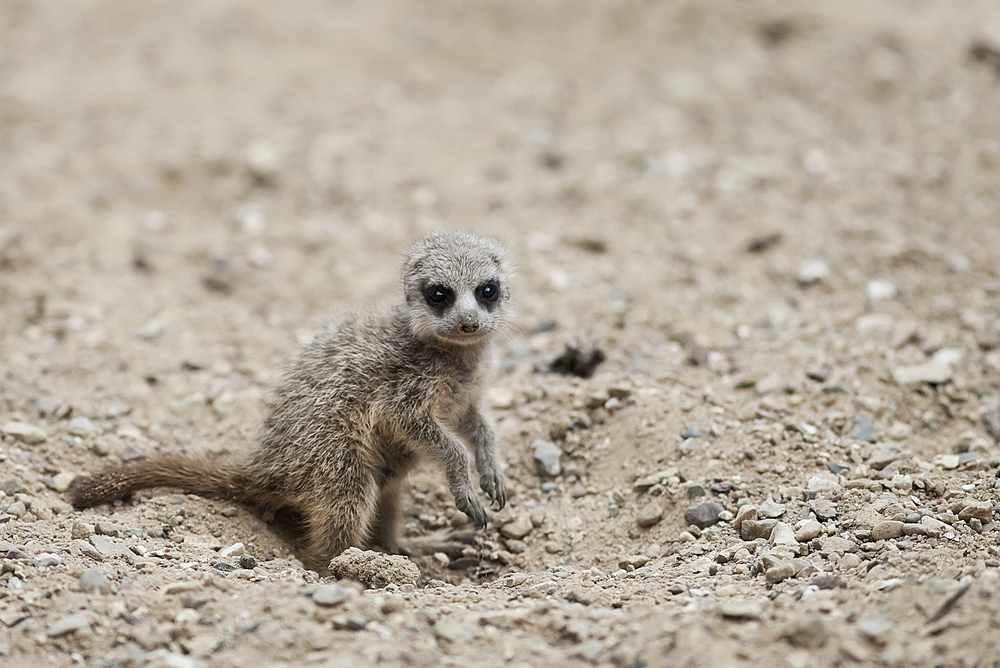 Have you seen my mom Read about The meerkat or suricate (Suricata suricatta) Comments