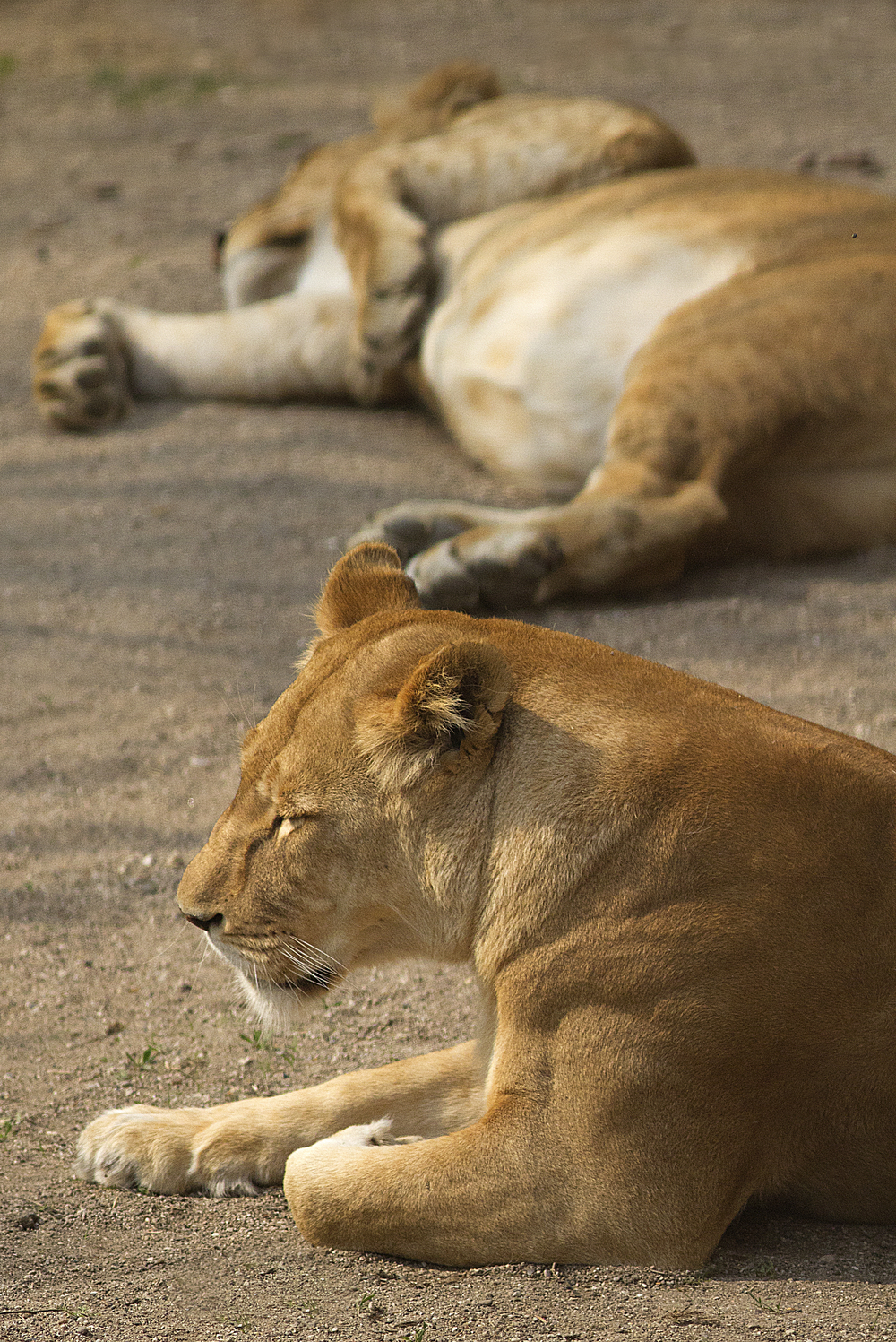 Resting after the meal Read about The lion (Panthera leo) Comments