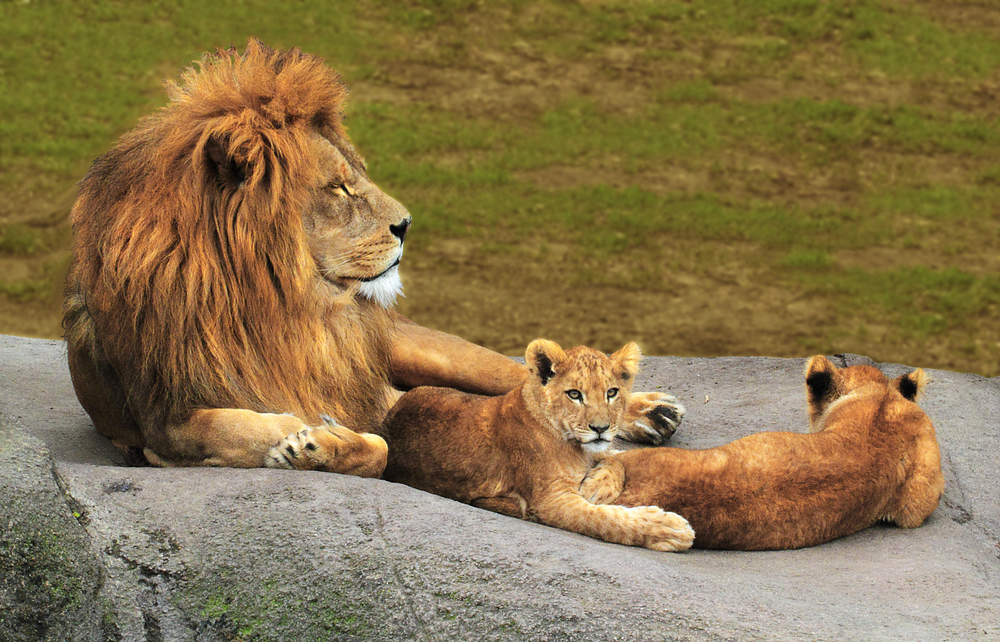 The king and his offspring Read about The lion (Panthera leo) Comments