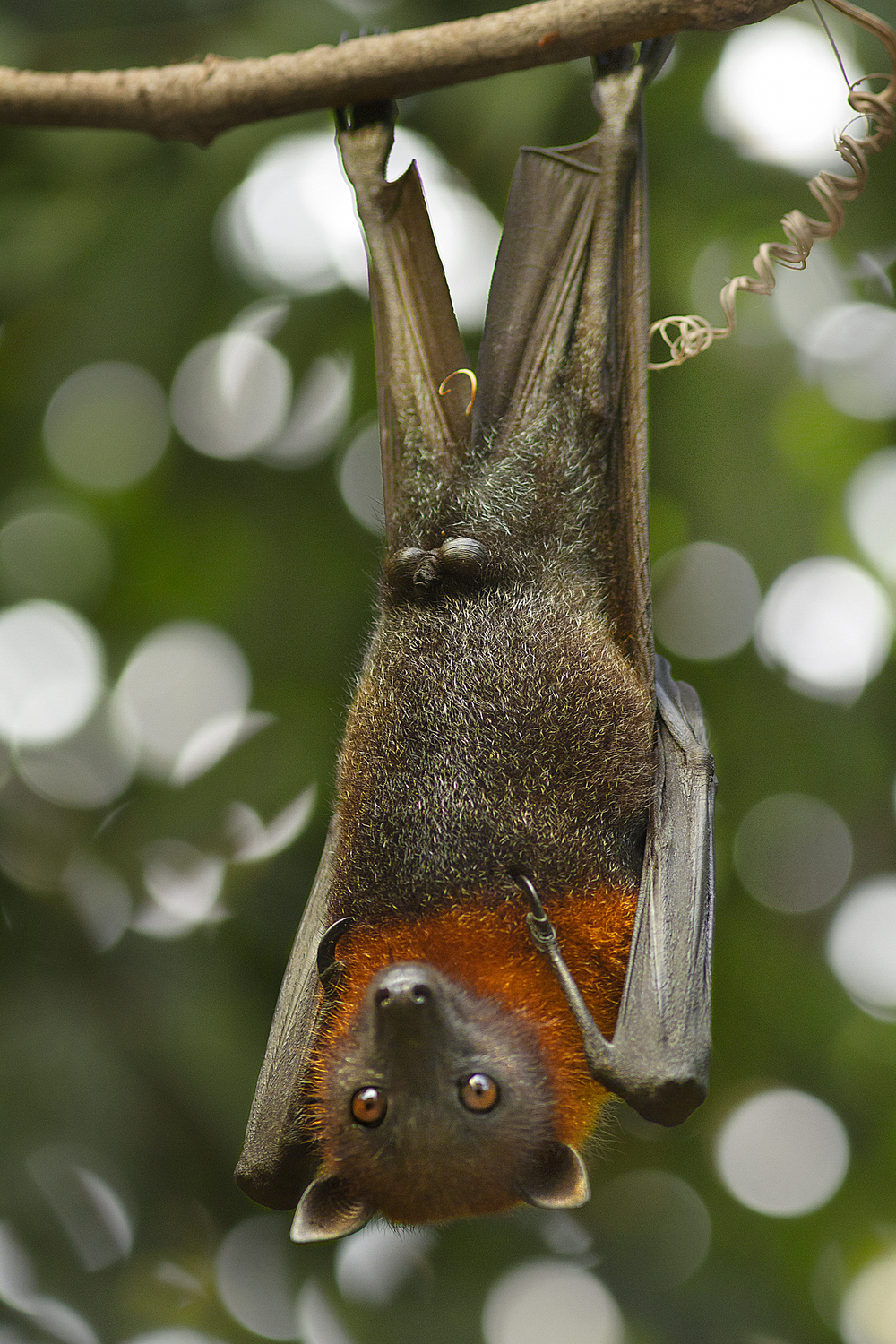 You guys looks funny upside down Read about The Bats of the genus Pteropus Comments