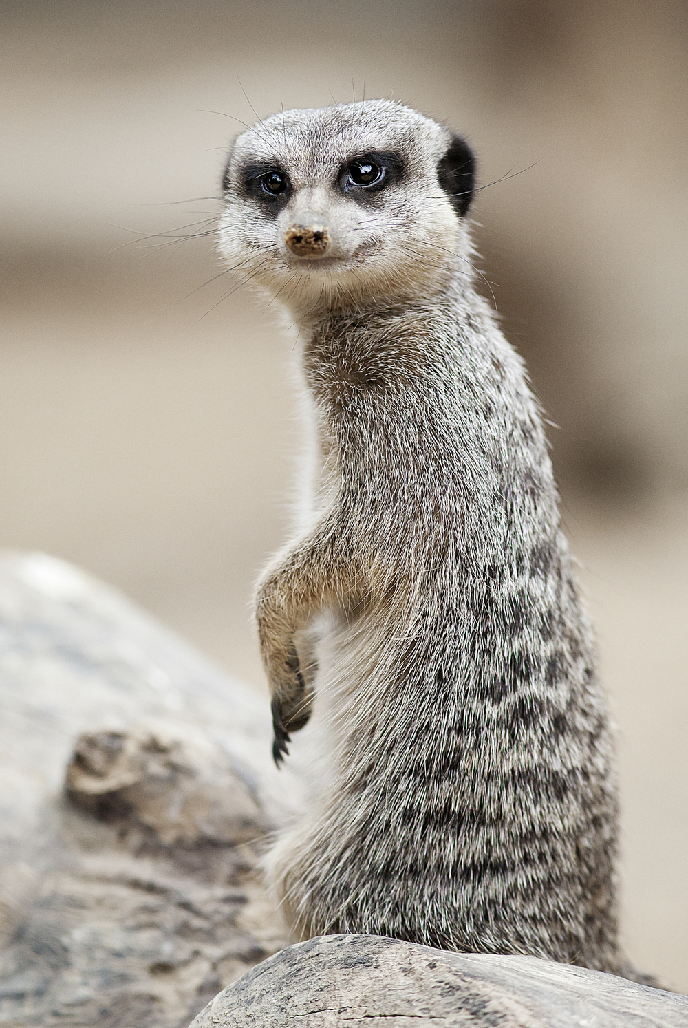 Watching you Read about The meerkat or suricate (Suricata suricatta) Comments