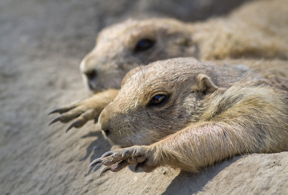 It's hot Read about The black-tailed prairie dog (Cynomys ludovicianus) Comments