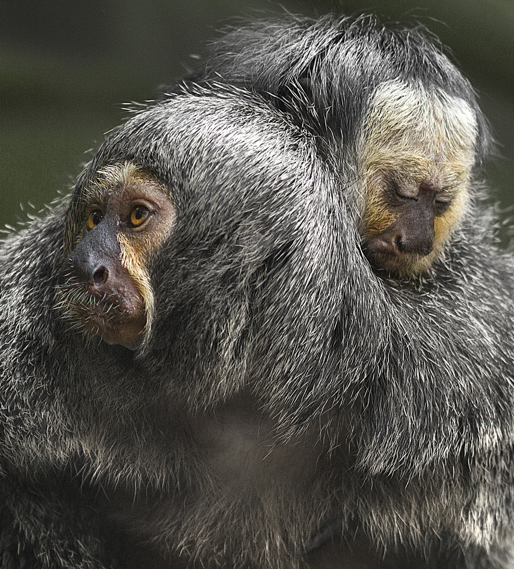 Me and mom Read about The white-faced saki (Pithecia pithecia) Comments