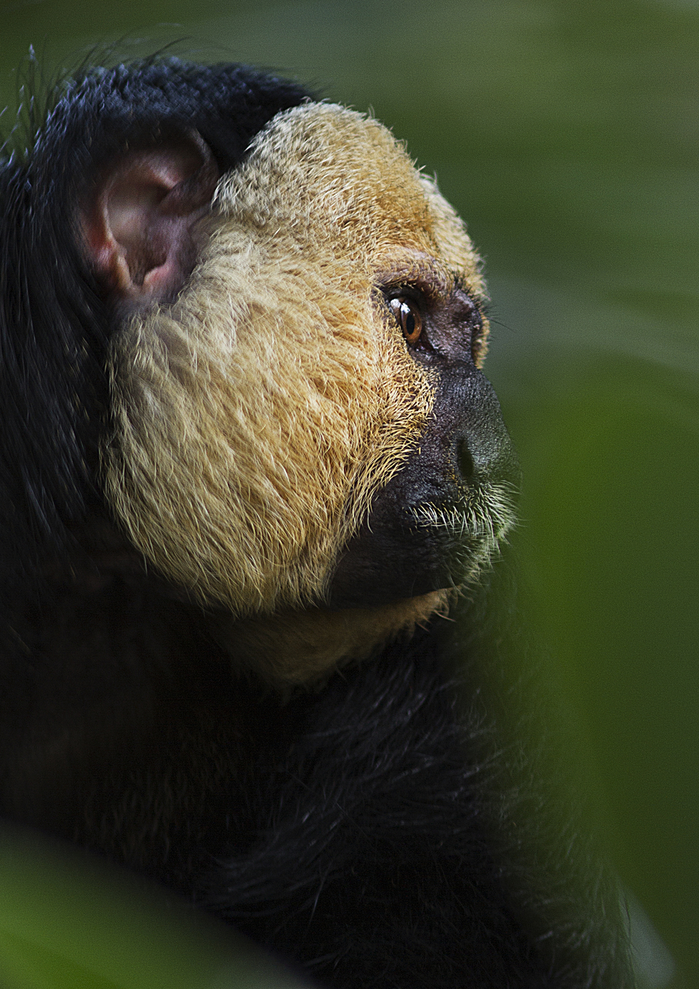 Deep thoughts Read about The white-faced saki (Pithecia pithecia) Comments