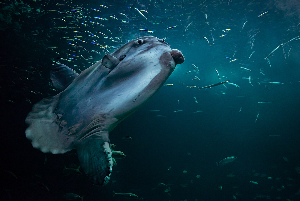 The odd one (Mola mola) Comments