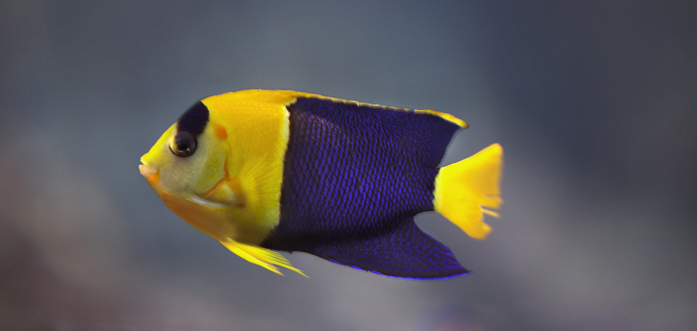 Yellow and purple fish Comments