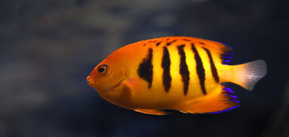 Orange fish with stripes Comments