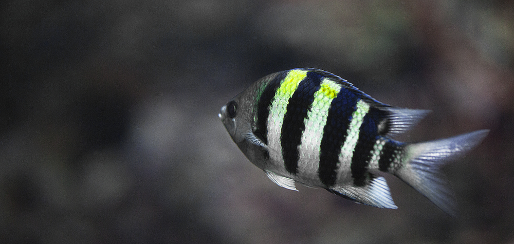 Striped fish Comments