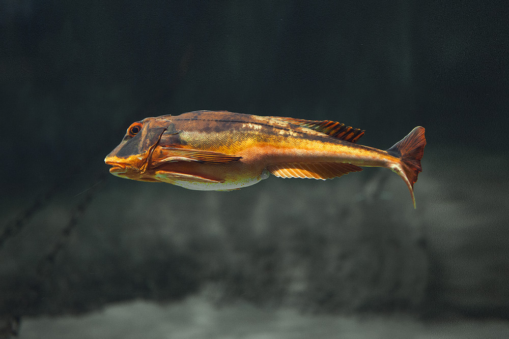 Red Gurnard in the North Sea Comments