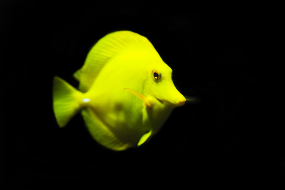 A yellow fish Comments