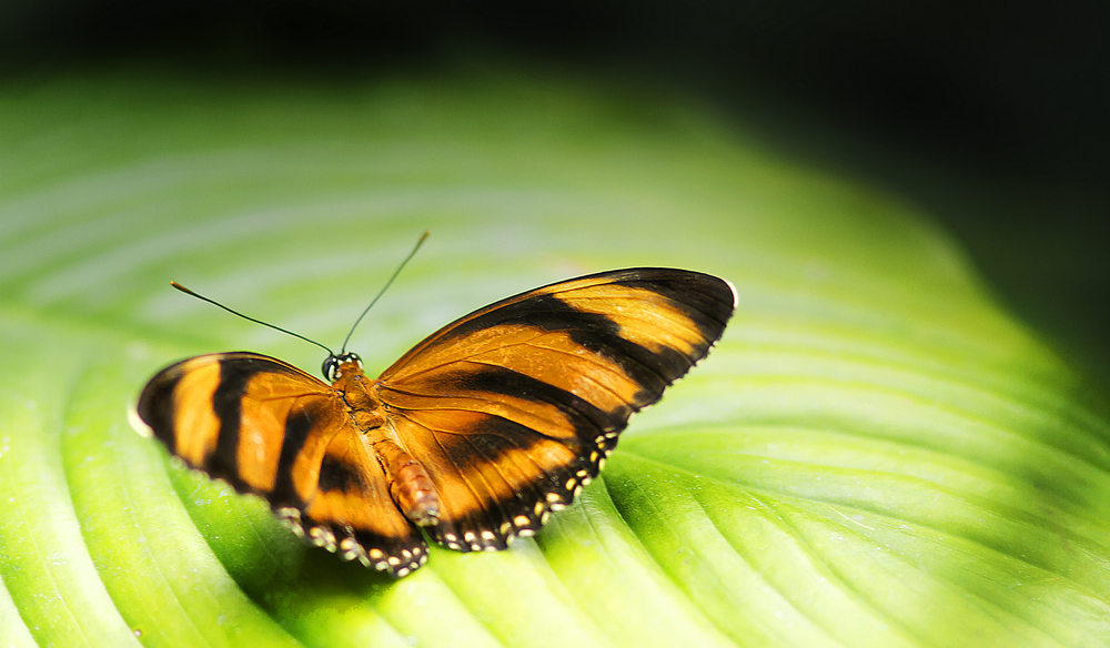 Golden butterfly on green leave Read about The Heliconius hecale Comments