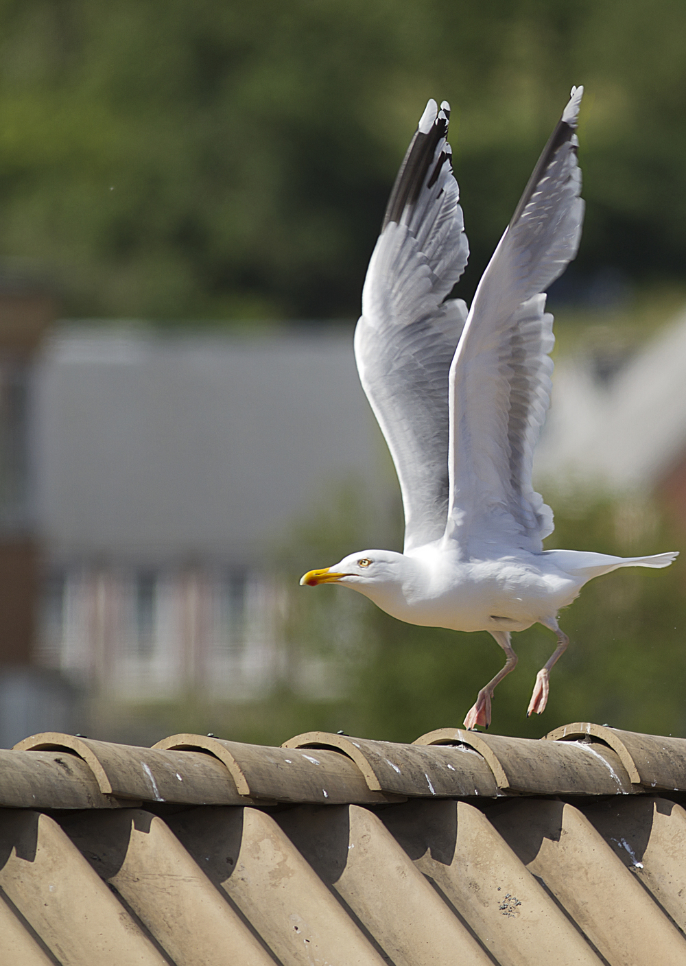 Heavy lifting Read about The European herring gull Comments