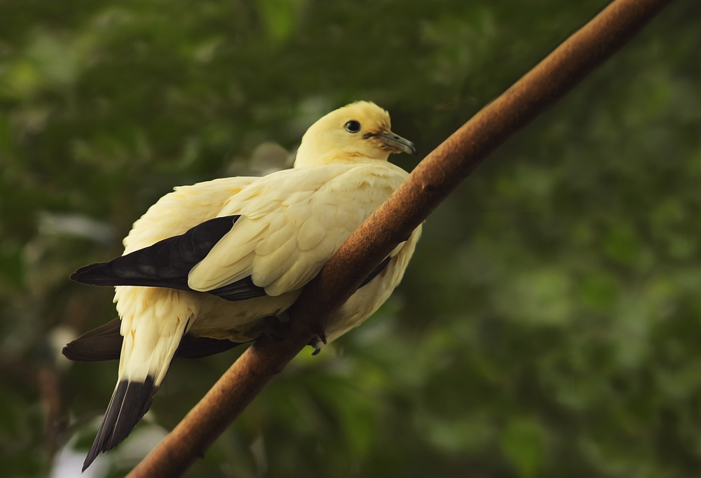A rest and a thought Read about The pied imperial pigeon (Ducula bicolor) Comments