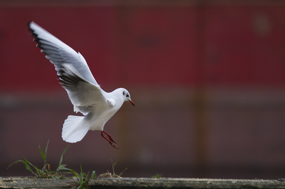 Landing gear down Read about The black-headed gull Comments