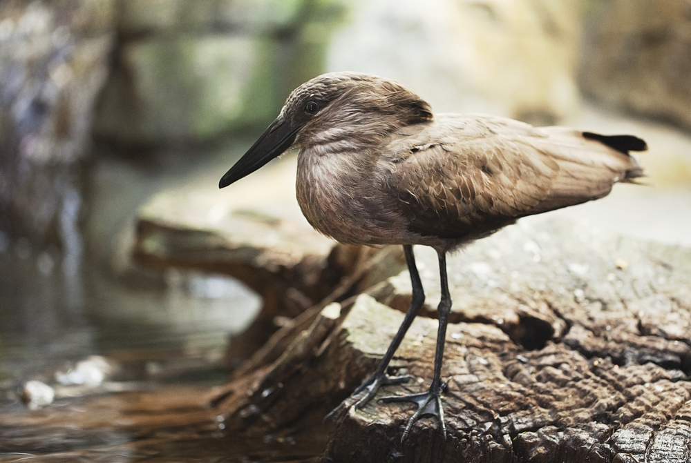 Let the little fish come to me Read about The hamerkop (Scopus umbretta) Comments