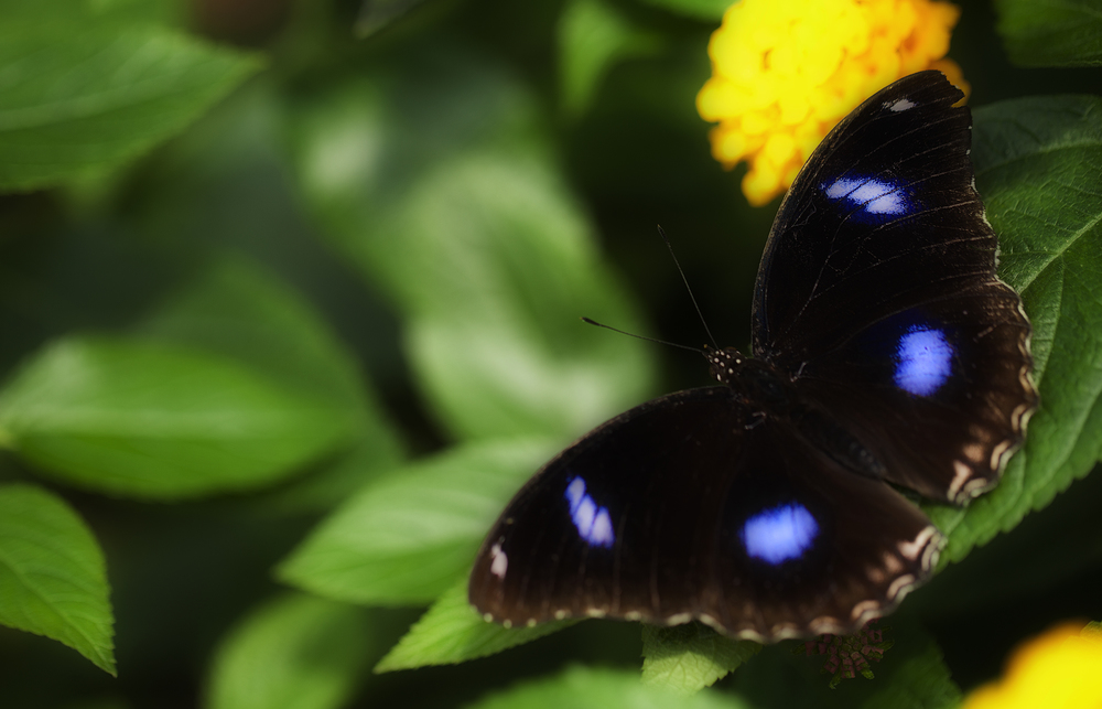 Blue spots Read about The Great Eggfly (Hypolimnas bolina) Comments
