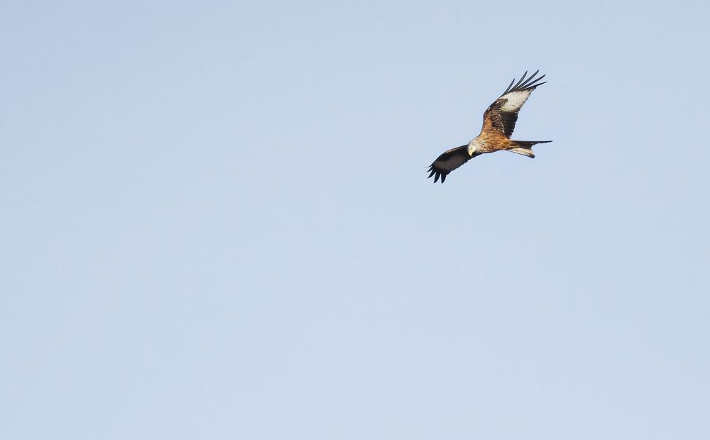 Red Kite Read about The red kite Comments