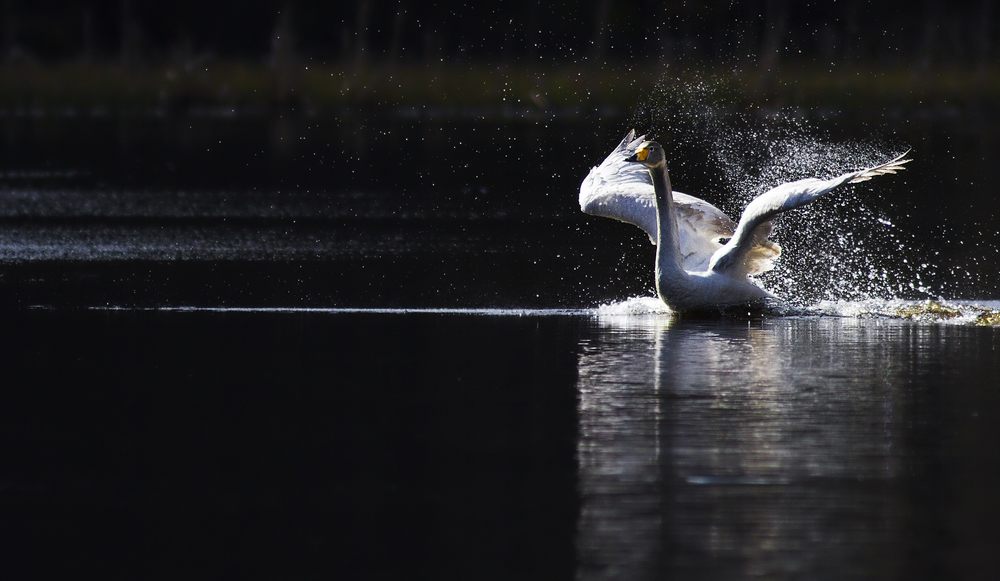 Morning shower Read about The whooper swan Comments