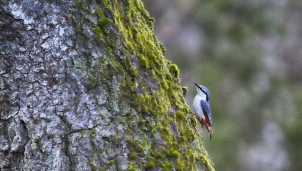 Wood nuthatch Comments
