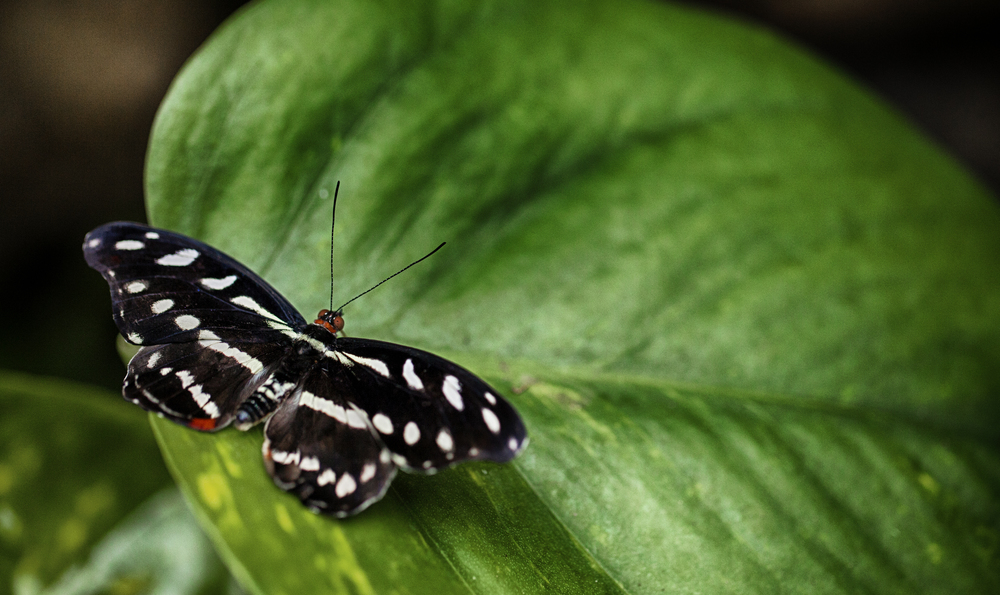 Black and white Read about The Heliconius charithonia Comments