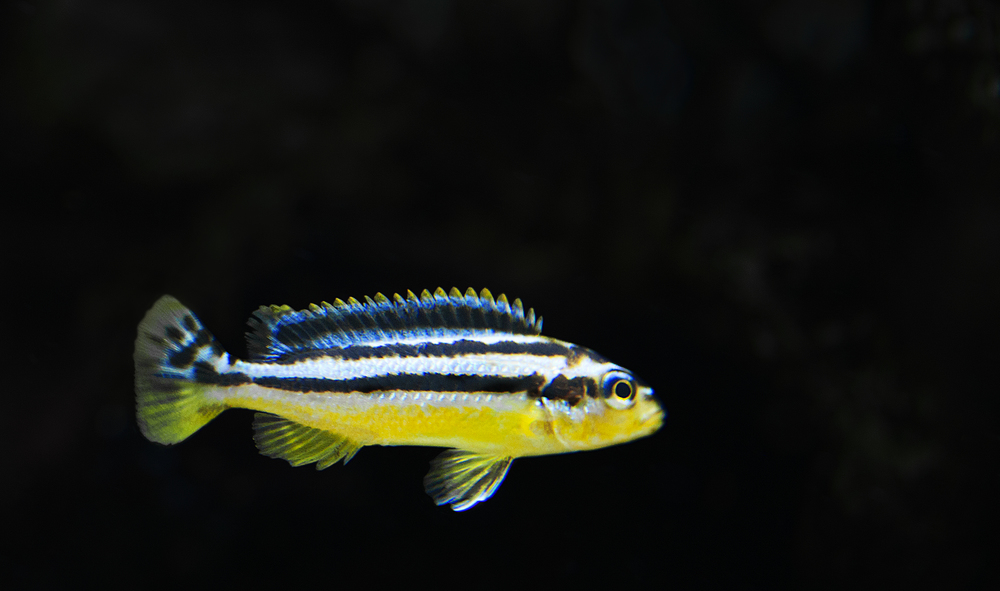 Melanochromis Auratus Comments