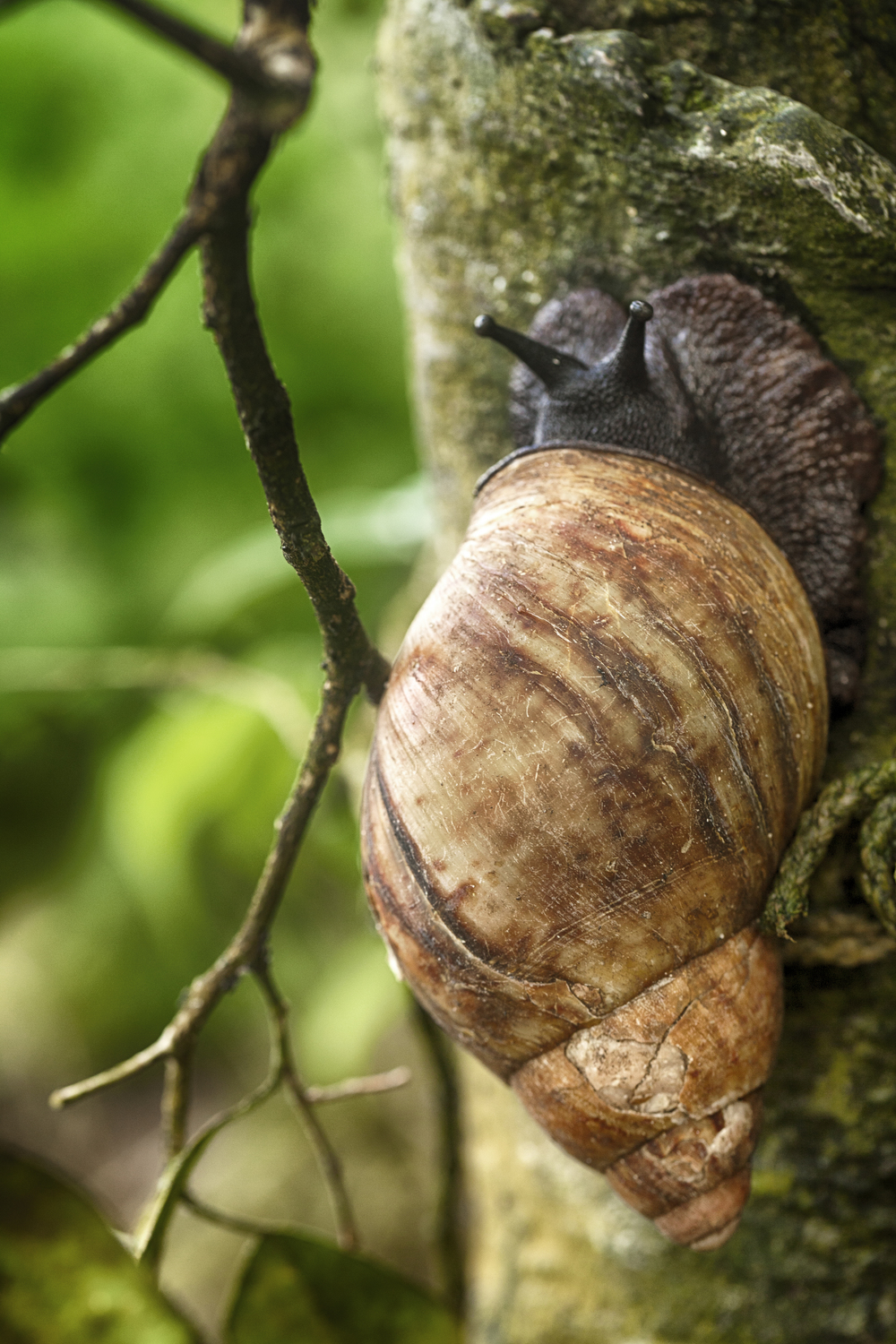 Giant African Land Snail Read about Achatina fulica Comments