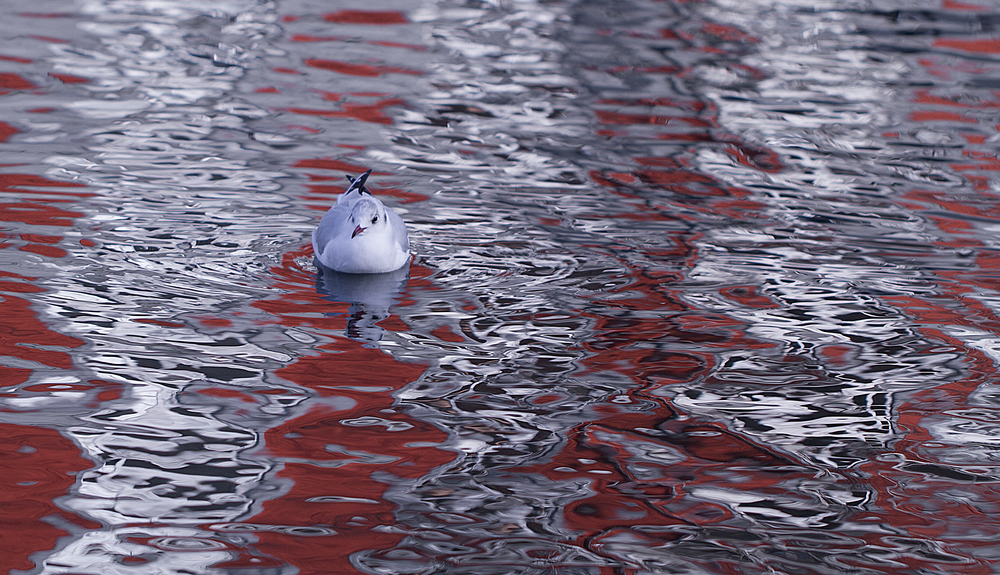 Mixed reflections Read about The black-headed gull Comments