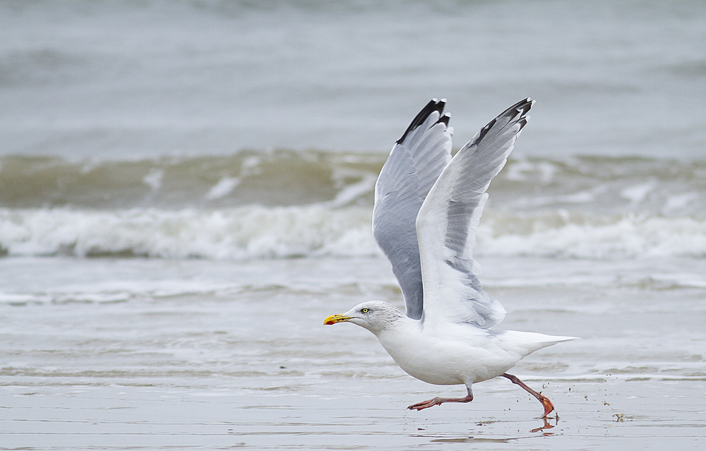 Ready for lift off Read about The European herring gull Comments