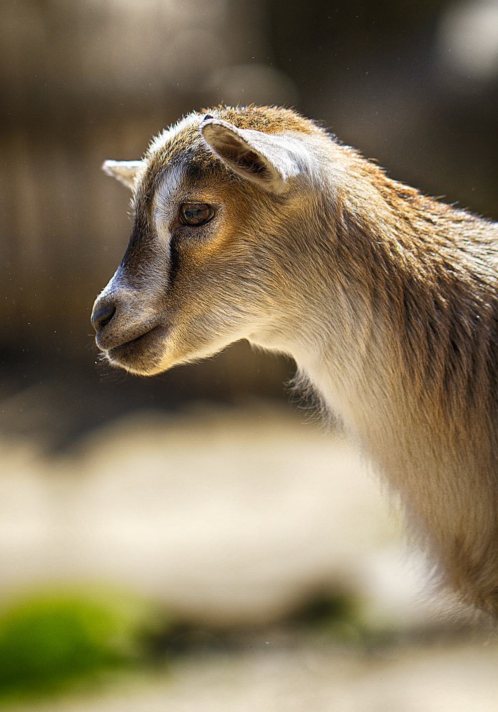 Always ready Read about The West African Dwarf goat Comments