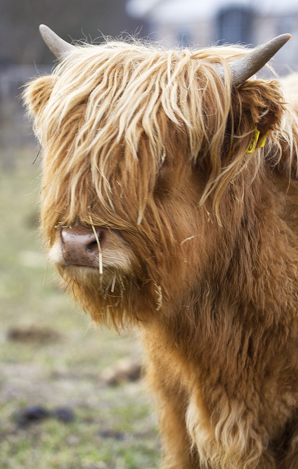 Anyone who knows a hairdresser Read about Highland cattle (Scottish Gaelic: Bò Ghàidhealach; Scots: Heilan coo) Comments