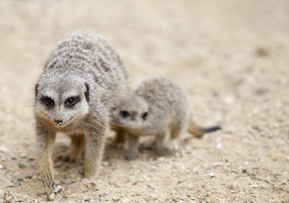 Those kids Read about The meerkat or suricate (Suricata suricatta) Comments