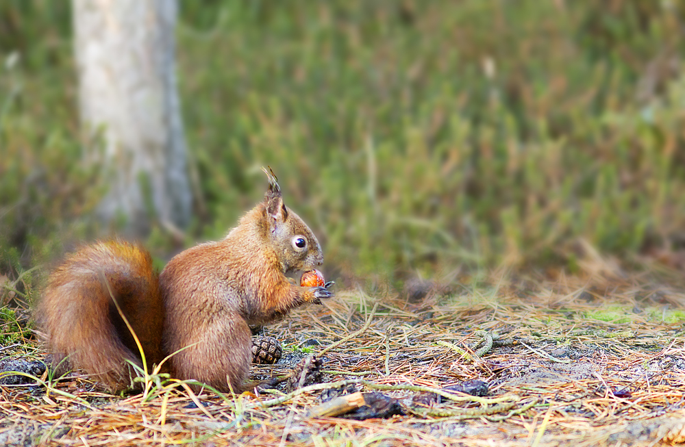 A snack Read about The red squirrel or Eurasian red squirrel (Sciurus vulgaris) Comments